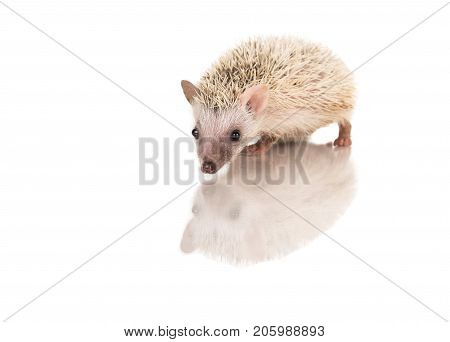 Baby African Pygmy hedgehog on a white background with its reflection