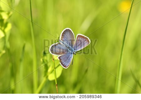 Common Blue butterfly - polyommatus Icarus. Natural outdoors bokeh background