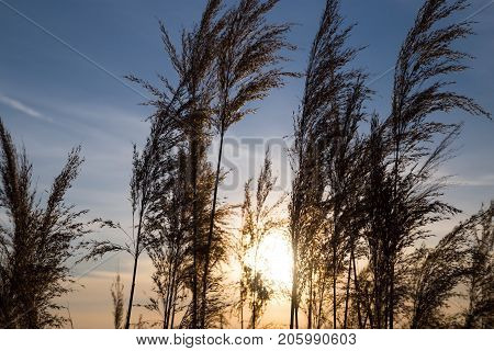 bulrush on background sunset in winter . In the park in nature
