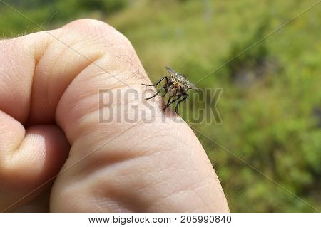 Close up of the  mosquito sucking blood