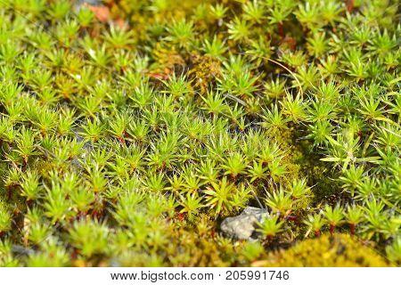 Common Hair Cap Moss - Star Moss / Common Hair Cap Moss - Star Moss / Common Hair Cap Moss - Star Mo