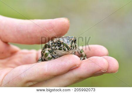 Green Toad (bufo Viridis) On Boy Hand