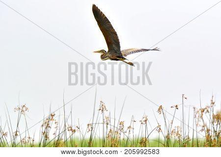 Flying Heron Purple Heron / Ardea Purpurea
