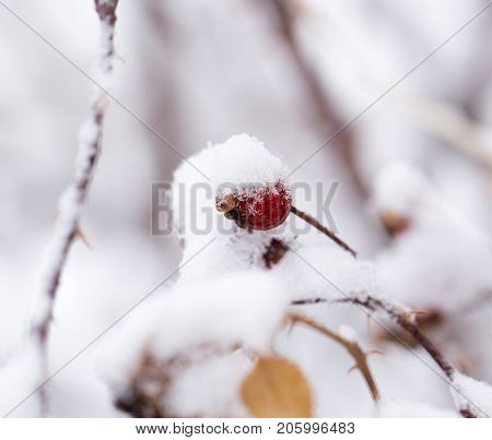 Briar in the snow. macro . In the park in nature