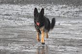 German Shepherd Dog trotting along the beach poster