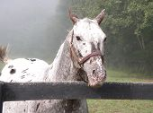 stallion at the horse farm on a foggy morning poster