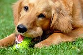 golden retriever young dog portrait with toy bone poster