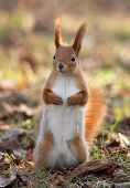 Red squirrel standing on the sun inautumn forest poster