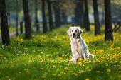 Happy Golden Retriever in flower field of yellow dandelions poster