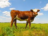Calf with curiosity looked at pictures. His view is friendliness. poster