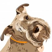 dog breed bearded Miniature Schnauzer color of pepper and salt poster