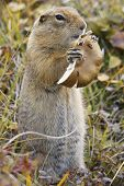 Close up of ground squirrel while eating mushrooms poster