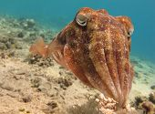 Portrait of a Cuttlefish (Sepia) swimming in clear blue water poster