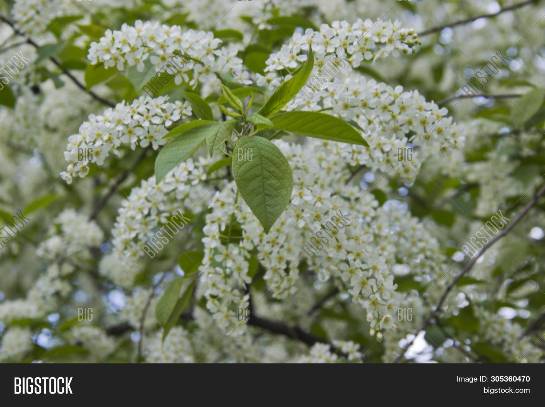 Prunus Padus Species Image Photo Free Trial Bigstock