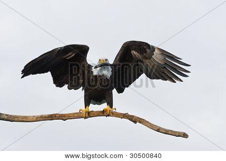 American Bald Eagle Holding a Fish