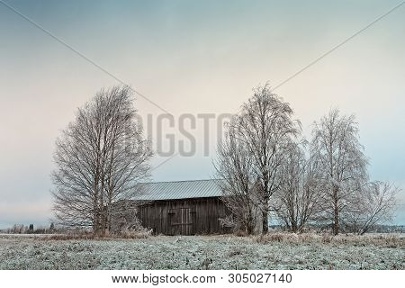 An Old Abandoned Barn House Stands Between The Birch Trees On A Frosty Field At The Rural Finland.