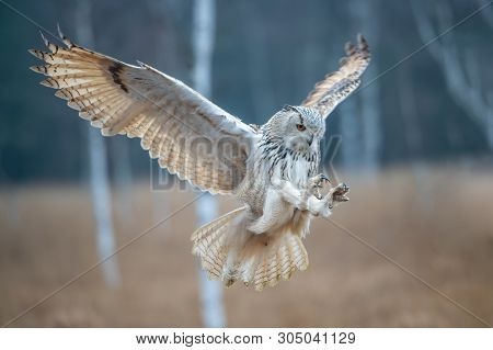 Eagle Owl Flying In The Forest. Huge Owl With Open Wings In Habitat With Trees. Beautiful Bird With