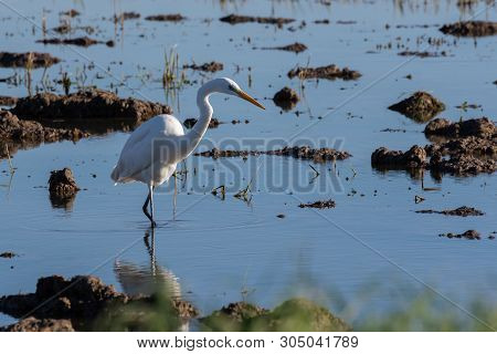 White Heron Hunting Over Paddy Fields In The Natural Park Of Albufera, Valencia, Spain. Nature Wildl