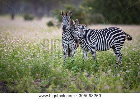 Portrait Of A Zebra. Zebras (hippotigris) Are The Three Species Grevys Zebra (equus Grevyi), Mountai