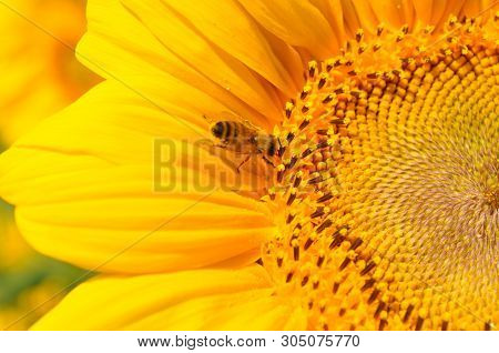 Golden Sunflower With Bee On Yellow And Black Stamens Closeup. Small Bee Gathering Yellow Pollen For