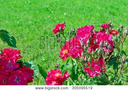 Stock Photo Red Silk Roses And Green Grass Background