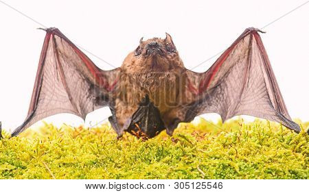 Wild Nature. Forelimbs Adapted As Wings. Mammals Naturally Capable Of True And Sustained Flight. Bat