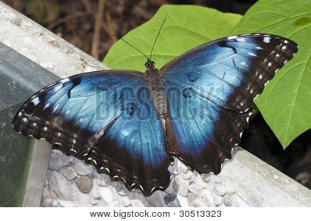 Butterfly Blue Morpho Resting On Wall