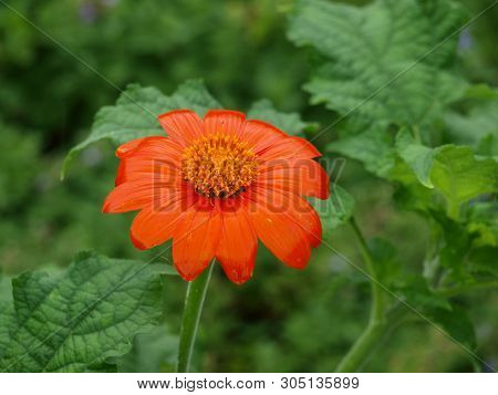Mexican Sunflower Blooms In A Water-wise Garden.