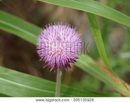 A Thistle Like Common Weed Grows Along A Fence Line Of A Light Rail Line. The Bloom Is Much Like The