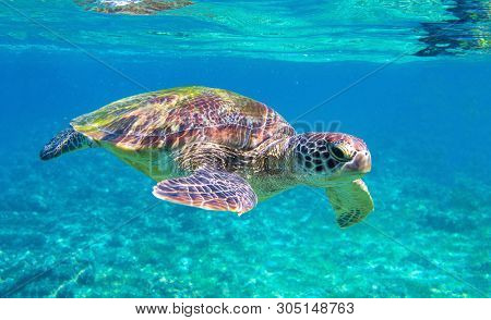 Cute Sea Turtle In Blue Water Of Tropical Sea. Green Turtle Underwater Photo. Wild Marine Animal In