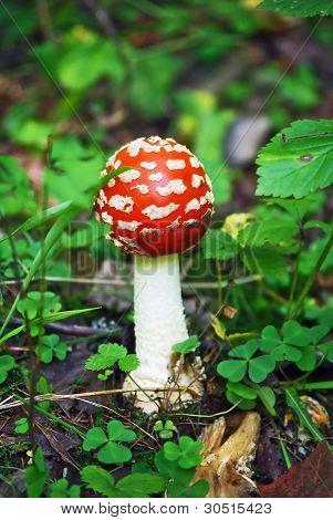 Fly Agaric red mushroom