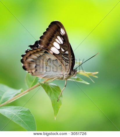 Butterfly Feeding On Leaf