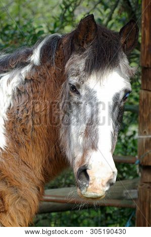 Old Bay And White Paint Gelding With Gray Hair And One Blind Eye