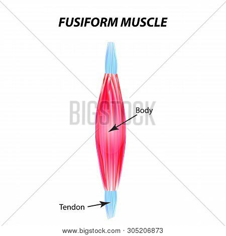 The Structure Of Skeletal Muscle. Fusiform Muscle. Tendon. Infographics. Illustration On Isolated Ba