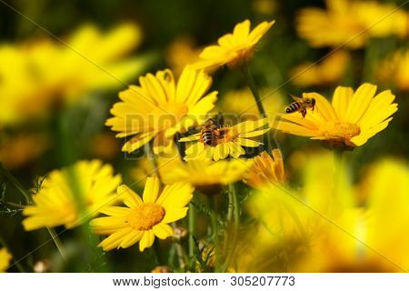 Close up honeybee busy on yellow daisy flower on flower covered field