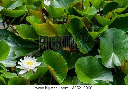 Flower Of Water Lily White Hatched Natural