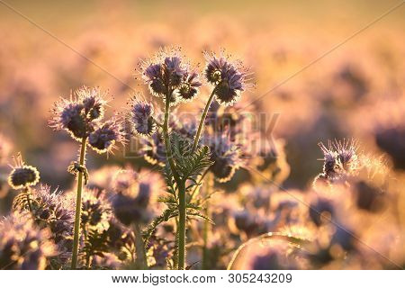 Lacy phacelia in field dusk sunset sun Nature background Colors vibrant Nature background Flowers meadow Nature background Macro Close-up flowers sunrise morning Nature background sunshine plants outdoor Nature background Flowers meadow Nature background. poster