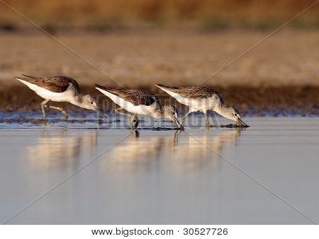 Three Course Redshank