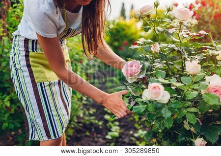 Young Woman Gathering Flowers In Garden. Gardener Cutting Roses Off With Pruner. Gardening Concept