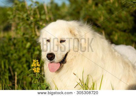Close-up Portrait Of Beautiful Happy Maremma Sheepdog. Big White Fluffy Dog Breed Maremmano Abruzzes