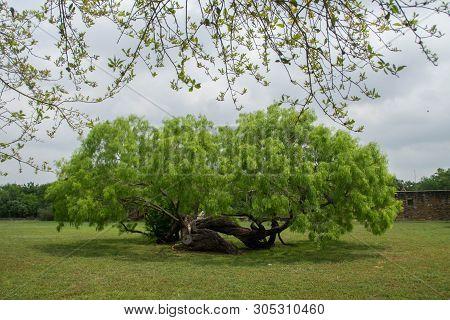 Bended Lying Tree Of San Juan Capistrano Mission, San Antonio, Texas