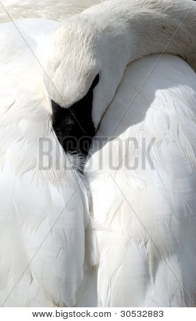 Swan resting head on back