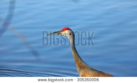 Sandhill crane in the marsh lands