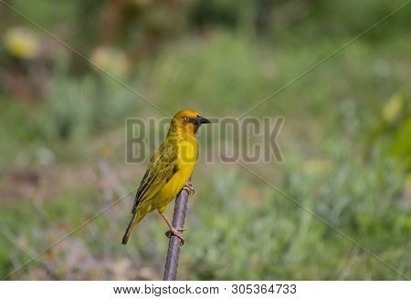 Cape Weaver, Ploceus Capensis , Sitting On Stick Looking Right And Claws Clearly Displayed, With Gre