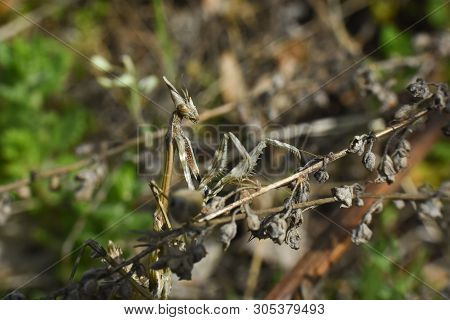 Conehead Mantis (empusa Pennata) Mediterranean Shrubland Ambush Predator Insect