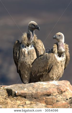 Pair Of Cape Vultures