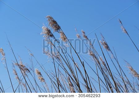 Close Up Shot Of Reed Field Against Clear Blue Sky. Sankt Peter-ording, Germany