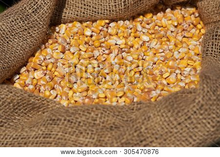 Corn Grains In Burlap Sack, Close-up. Dry Uncooked Corn Grains In Bag.