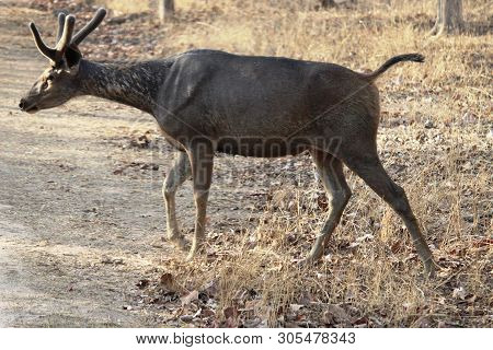 The Sambar (rusa Unicolor) Is A Large Deer Native To The Indian Subcontinent, Southern China, And So