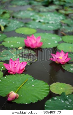 Royalty High Quality Free Photo Image Of A Pink Lotus Flower. The Background Is The Lotus Leaf, Pink